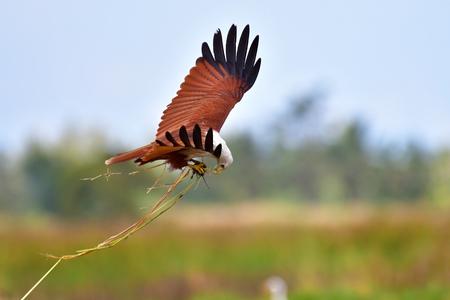 Brahminy-Drachenvogel (Haliastur Indus) fängt eine Ratte auf einem Reisgebiet, Thailand. Standard-Bild - 93857002