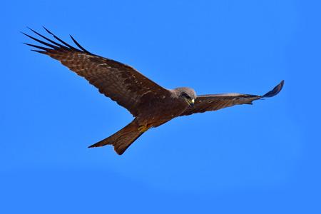 Schwarzmilanvogel (Milvus migrans) auf Hintergrund des blauen Himmels, Thailand. Standard-Bild - 93890012