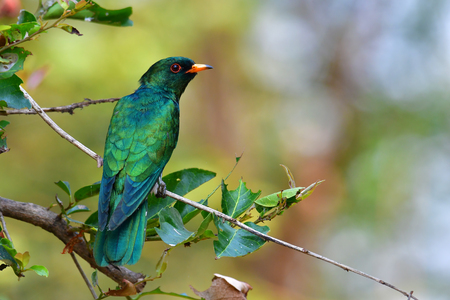 Beautiful green bird, Male of Asian Emerald Cuckoo (Chrysococcyx maculatus) perching on a branch, taken from Thailand