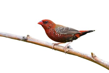 Beautiful red bird, Red avadavat (Amandava amandava) perching on a branch isolated on white background.