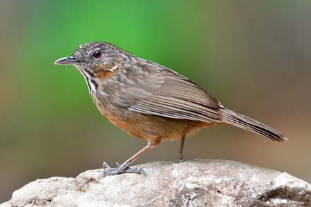 Beautiful brown bird, Rufous Limestone-babbler (Turdinus calcicola) New Endemic of Thailand, New Species of the World. Stock Photo