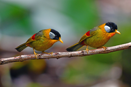Beautiful golden bird, Couple of Silver-eared Mesia (Leiothrix argentauris) in Doi Phu Kha National Park, Thailand