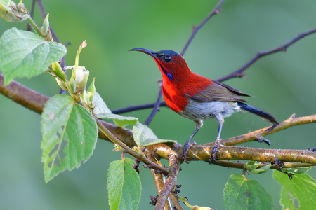 Beautiful bird, male of Crimson Sunbird (Aethopyga siparaja) perching on a branch.
