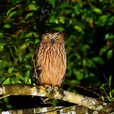 Beautiful bird, Buffy Fish Owl (Ketupa ketupu) at Night in Krung Ching Waterfall, Khao Luang National Park, Thailand. 写真素材