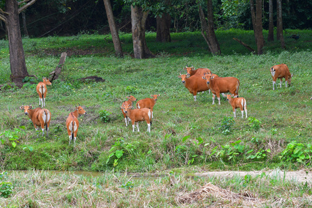 Endangered species in IUCN Red List of Threatened Species Banteng (Bos javanicus) family was beware in group position in real nature at Hui Kha Kheang wildlife sanctuary in Thailand 写真素材