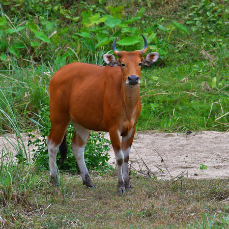 Endangered species in IUCN Red List of Threatened Species Banteng (Bos javanicus)  in real nature at Hui Kha Kheang wildlife sanctuary in Thailand