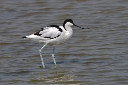 Pied Avocet (Recurvirostra avosetta) Feeding in water, Bird from Thailand.