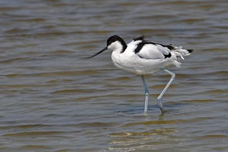 Beautiful Bird, Pied Avocet (Recurvirostra avosetta) Feeding in water, Bird from Thailand.
