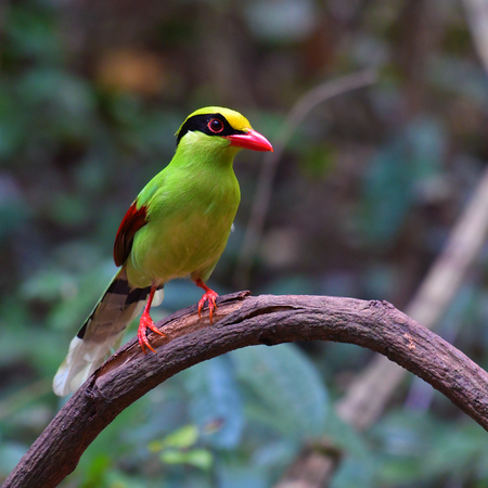 Beautiful green bird, Common green magpie (Cissa chinensis) perching on a branch, Bird from Thailand