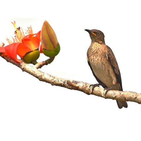 Beautiful bird, Female of Spot-winged Starlings (Saroglossa spilopterus) Bird perching on a Bombax ceiba red flower.