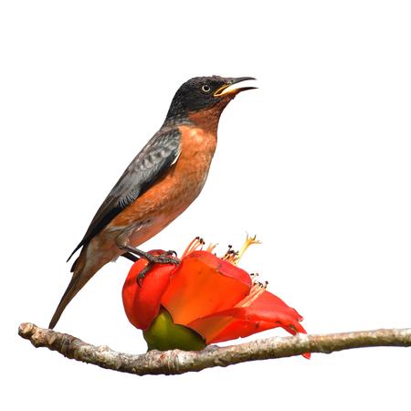 Beautiful bird, Male of Spot-winged Starlings (Saroglossa spilopterus) Bird perching on a Bombax ceiba red flower.