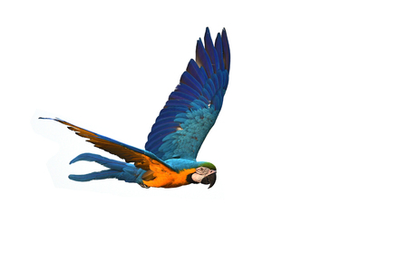 Guacamayo azul y oro (Ara ararauna) pájaro en vuelo.