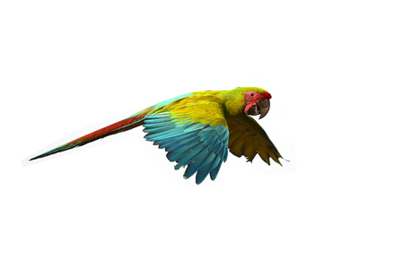 Beautiful green macaw bird in flight.
