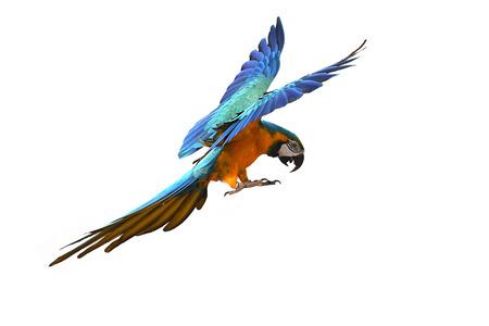 Blue and gold macaw (Ara ararauna) bird in flight.