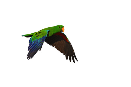Male of eclectus parrot bird fling isolated on white background.