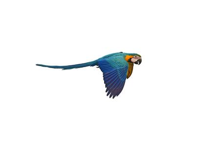 Blue-and-gold Macaw (Ara ararauna) bird in flight.