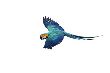 Guacamayo azul y oro (Ara ararauna) pájaro en vuelo. Foto de archivo