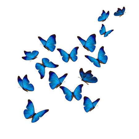 Beau papillon morpho bleu isolé sur fond blanc. Banque d'images