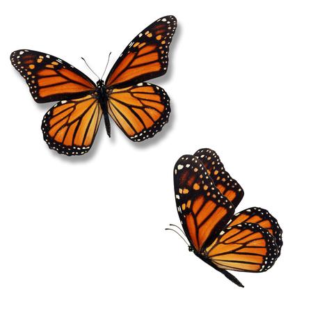Schöner Schmetterling mit zwei Monarchen lokalisiert auf weißem Hintergrund.