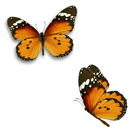 Schöner Schmetterling mit zwei Monarchen lokalisiert auf weißem Hintergrund. Standard-Bild