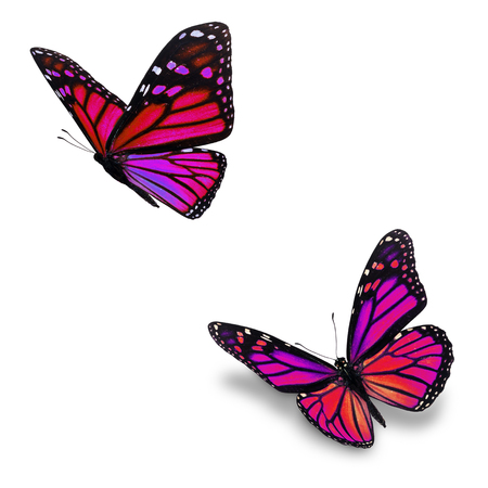 Beautiful two pink monarch butterfly, isolated on white background