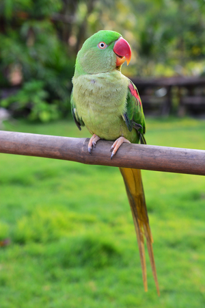 Closeup Female Alexandrine Parakeet Bird (Psittacula eupatria) perching on a branch.
