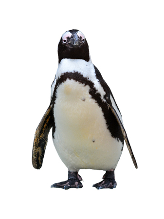 Beautiful African Penguin (Spheniscus demersus) isolated on white background. Zdjęcie Seryjne