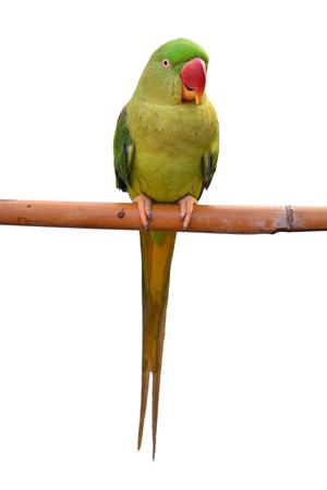 Closeup Female Alexandrine Parakeet Bird (Psittacula eupatria), green parrot bird isolated on white backgroud Zdjęcie Seryjne