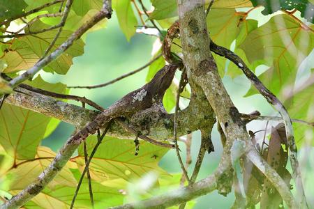 Javan Frogmouth Bird (Batrachostomus affinis) hatching eggs on the branch at Kaeng Krachan National Park, Thailand.