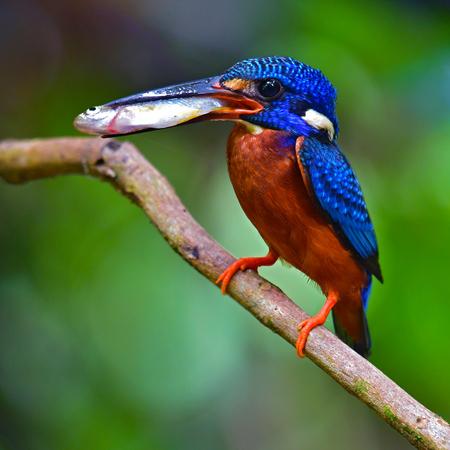 Beautiful bird, Male of Blue-eared Kingfisher (Alcedo meninting) Bird standing on the branch, bird from Thailand.