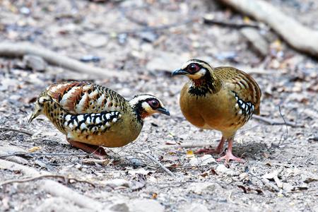 Beautiful bird, Bar-backed Partridge (Arborophila brunneopectus) in nature Thailand Zdjęcie Seryjne