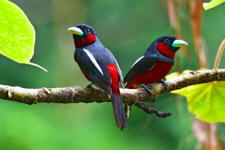 Couple of Black and red Broadbill Bird (Cymbirhynchus macrorhynchos) perchinh on a branch at Kaeng Krachan National Park, Thailand.