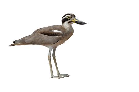 Beautiful bird, Great Thick-knee (Esacus recurvirostris) Bird isolated on white background.