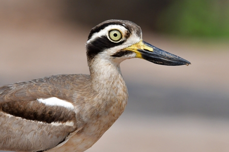 Beautiful bird, Great Thick-knee (Esacus recurvirostris) Bird standing on the Khong River, Closeup.