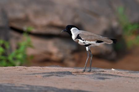 Beautiful bird, River Lapwing (Vanellus duvaucelii) Bird standing on the Khong River, bird from Thailand