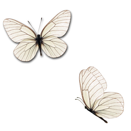 Beautiful two white butterfly isolated on white background. Zdjęcie Seryjne