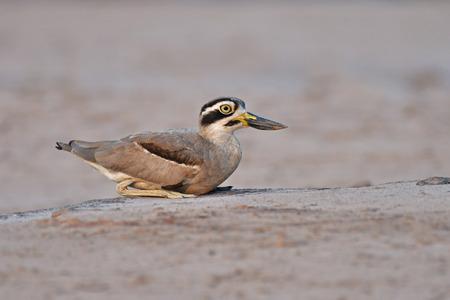 Beautiful bird, Great Thick-knee (Esacus recurvirostris) Bird standing on the Khong River, bird from Thailand.