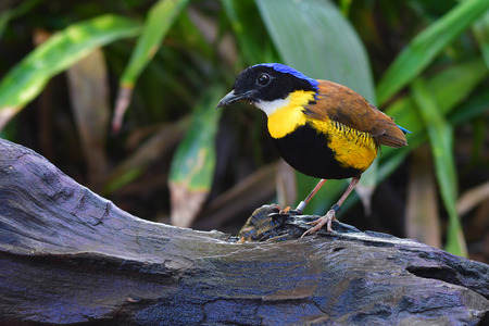 A male Gurney's Pitta Bird (Pitta gurneyi) rare resident, Endangered species of Thailand.