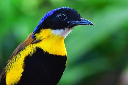 A male Gurneys Pitta Bird (Pitta gurneyi) rare resident, Endangered species of Thailand.
