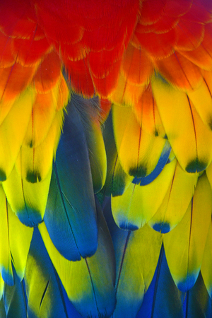 Colorful of Scarlet macaw bird feathers with red yellow orange and blue shades, exotic nature background and texture