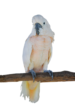 Sulphur-crested Cockatoo, Cacatua galerita perched in front of a white background