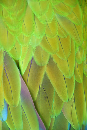Macaw wings, Buffon's macaw (Ara ambiguus) feathers bird for background texture.