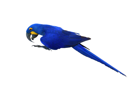 Hyacinth Macaw bird (Anodorhynchus hyacinthinus) isolated on white background. Banque d'images