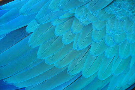 Macaw wings, Blue and gold macaw feathers bird for background texture. Zdjęcie Seryjne