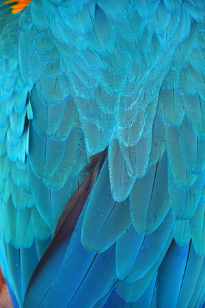 Macaw wings, Blue and gold macaw feathers bird for background texture. Banque d'images