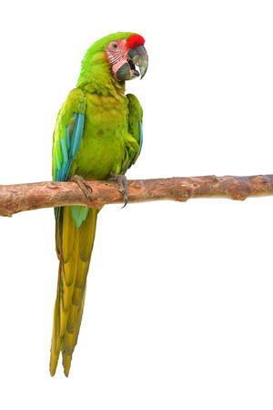 Buffons macaw (Ara ambiguus) isolated on white background