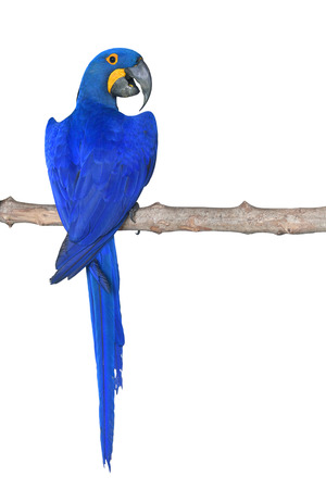 Hyacinth Macaw bird (Anodorhynchus hyacinthinus) perching on branch in front of white background
