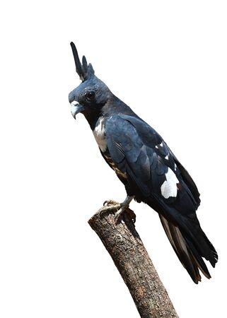 Beautiful bird, Black baza (Aviceda leuphotes) perching on a branch, Bird from Thailand