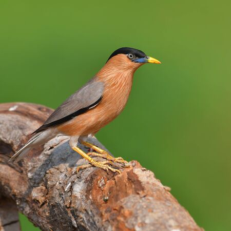 Beautiful bird, Brahminy Starling (Sturnia pagodarum) perching on a branch, Bird from Thailand Banque d'images