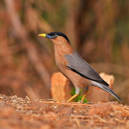 Beautiful bird, Brahminy Starling (Sturnia pagodarum) perching on a ground, Bird from Thailand Banque d'images